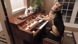 الكلب الذي يلعب البيانو