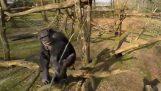 Χιμπατζής επιτίθεται σε drone με ένα κλαδί
