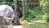Gorilla hader paparazzi