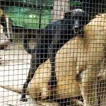 Ένας σκύλος στη φωλιά των λιονταριών