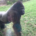 Atacar a un gorila en el zoológico