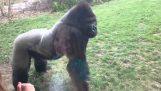 Attack a gorilla at the Zoo