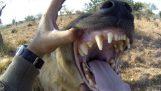 Οι ύαινες του Kevin Richardson