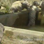 Μια μικρή λευκή τίγρης βοηθά τον αδελφό της να βγει από το νερό