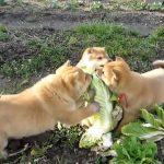 Επίθεση στο λάχανο!