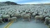Moře ovcí
