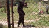Забавный медведь пешком