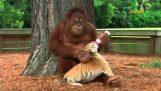 Ο ουρακοτάγκος φροντίζει τις μικρές τίγρεις