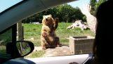 Η πιο cool αρκούδα