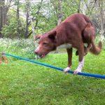 Σκύλος κάνει κατακόρυφο πάνω σε τεντωμένο σχοινί!