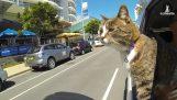 didga: Usannsynlig katten