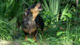 Jurský psa