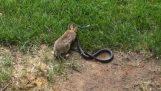Заек срещу змия