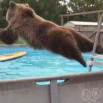 Μια αρκούδα κάνει βουτιές στην πισίνα