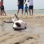 Μεγάλος λευκός καρχαρίας ξεβράζεται σε παραλία
