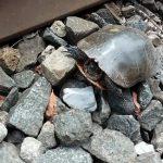 Η διάσωση της χελώνας