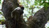 Εκπληκτική αναρρίχηση 40 μέτρων για τη συλλογή μελιού
