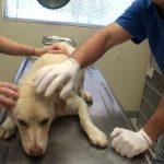 Ένας σκύλος διασώζεται και γιατρεύεται από σοβαρά τραύματα