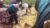 Thousands of baby chicks on the road, After traffic accident