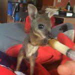 Ταΐζοντας ένα νεογέννητο καγκουρό