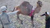 Καμήλα στο Αφγανιστάν κλωτσάει Αμερικανό στρατιώτη
