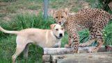 Ένα τσιτάχ και ένας σκύλος γίνοτναι οι καλύτεροι φίλοι
