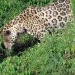 Jaguares se sumerge en el agua y la captura de un cocodrilo