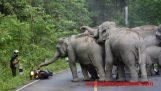 Κοπάδι ελεφάντων επιτίθεται σε μοτοσικλετιστή