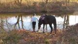 На кон, който се страхува от водата