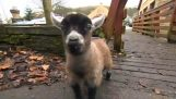 Benjamin, adorable Pygmy chicory lamb