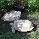 Una tartaruga rovesciata accetta aiuto da un amico