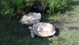 An overturned tortoise accepts help from a friend
