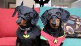 Los perros Batman y Robin atrapen al ladrón