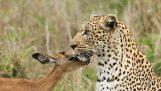 Πρωτόγνωρο παιχνίδι μεταξύ λεοπάρδαλης και αντιλόπης