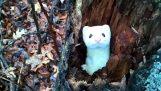 Μια παιχνιδιάρα ερμίνα στο δάσος