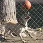 Σκύλος ισορροπεί μια μπάλα στη μύτη του