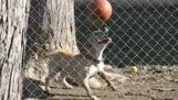 Pas balansiranje loptu na nos