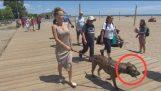 Top 5 pitbull protegge proprietario