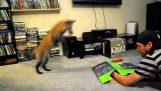 Локі в red fox pouncing на коробці