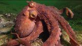 Ahtapot Fisherman itibaren Yengeç Çalıyor – Süper Akıllı Hayvanlar – BBC Dünya