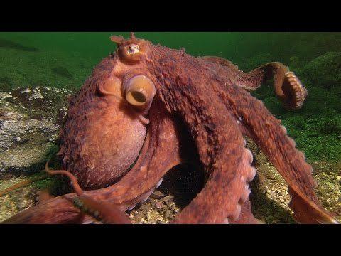 Octopus roba cangrejo De Pescador – Animales Super Smart – BBC Earth ...