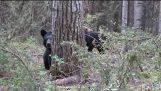 Momma звинувачення чорний ведмідь!!