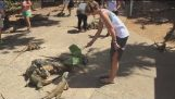 Duck attacked the woman who fed lizards