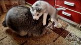Raccoon, Cat and Husky