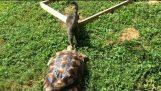 Bir kaplumbağa her yerde bir kedi izler