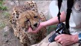 Bonding with Bullet the Cheetah