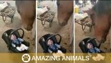 Hevonen rokkaa vauva