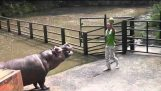 A hippopotamus eats a watermelon
