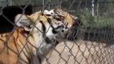 Ο ήχος ικανοποίησης μιας τίγρης