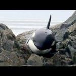 Η διάσωση μιας φάλαινας Όρκα που κόλλησε στα βράχια